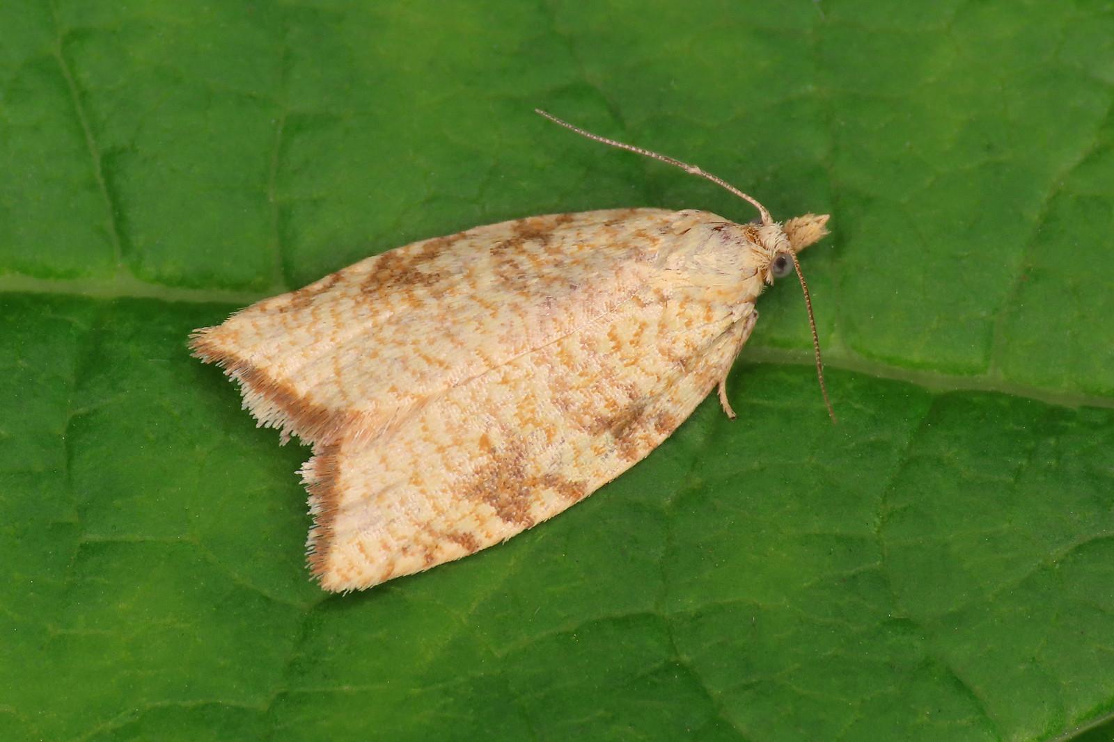 49.060 Yellow Oak Button - Aleimma loeflingiana