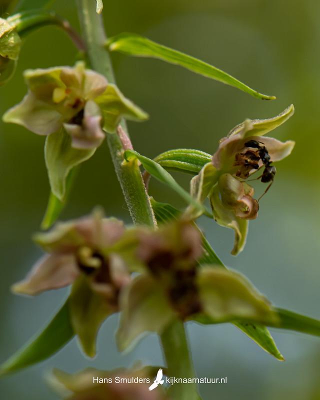 brede wespenorchis (Epipactis helleborine)-850_4332