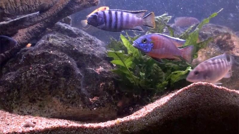 Pesci nell'acquario del nido