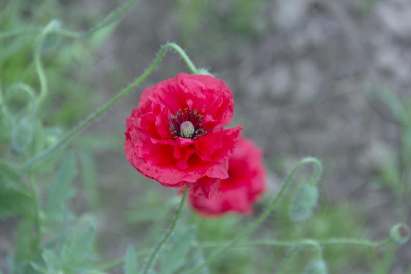 Красный мак / Red poppy