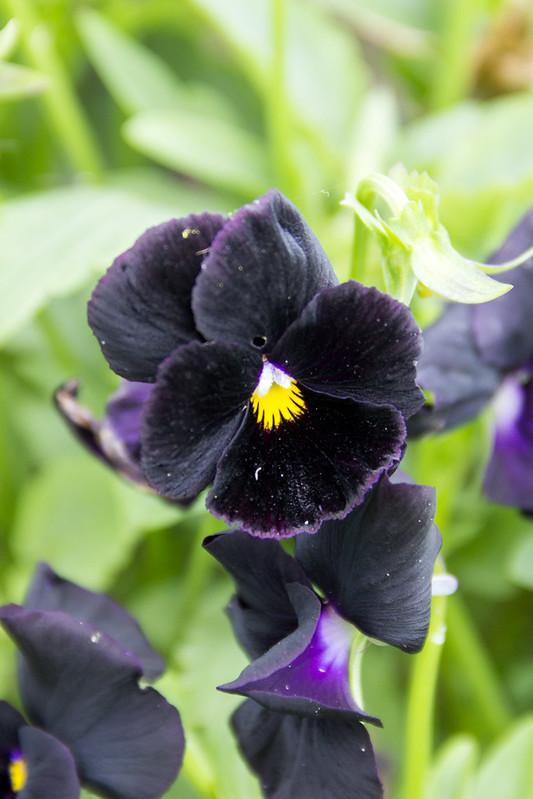 Анютины глазки / Viola tricolor