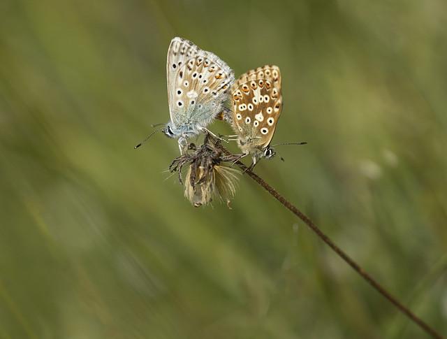Chalkhill-blue-mating_9413-Enhanced copy