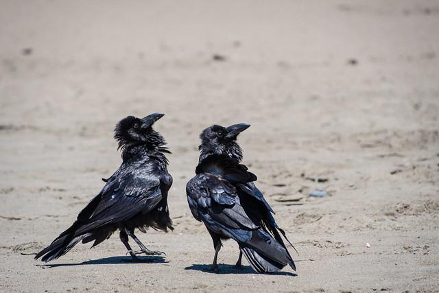 Ravens on a beach
