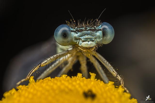 Blauwe breedscheenjuffer (Platycnemis pennipes) (2)
