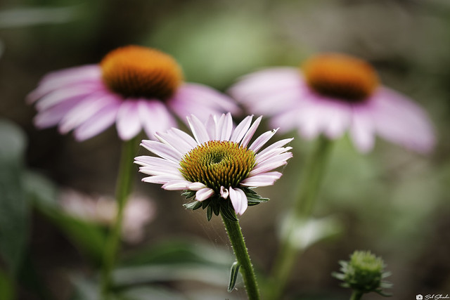 Coneflower in Shallow Depth of Field