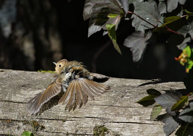 Young Robin (3 of 4)