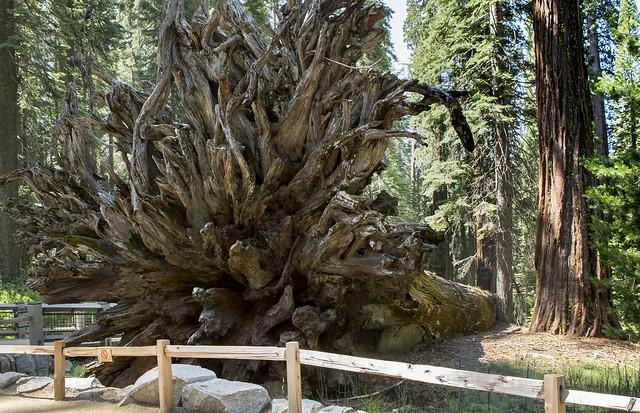 [Explore 2021] Root from Sequoia.... California