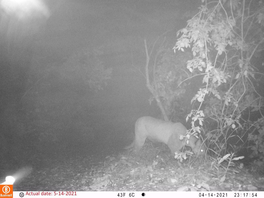 2021-05-14 Mountain Lion; motion-sensor camera