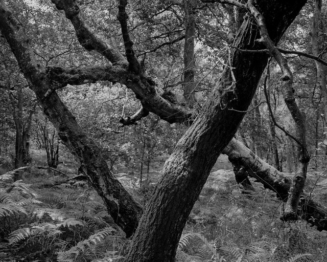 Hyons Wood, Walker Titan SF with Rodenstock 150mm, Ilford Ortho Plus in HC110