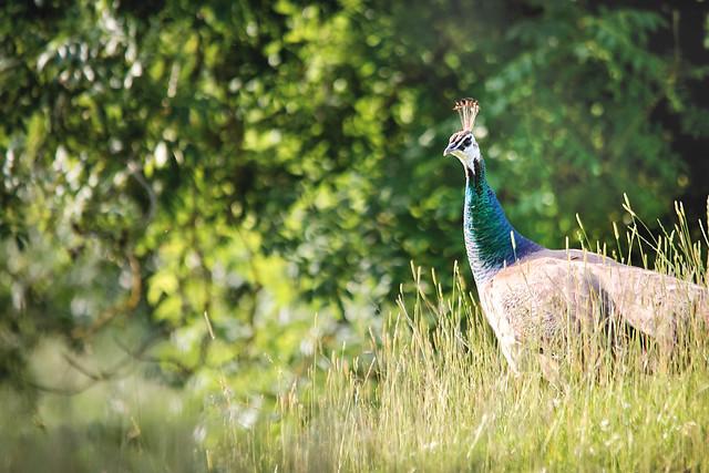 Summertime Peacock