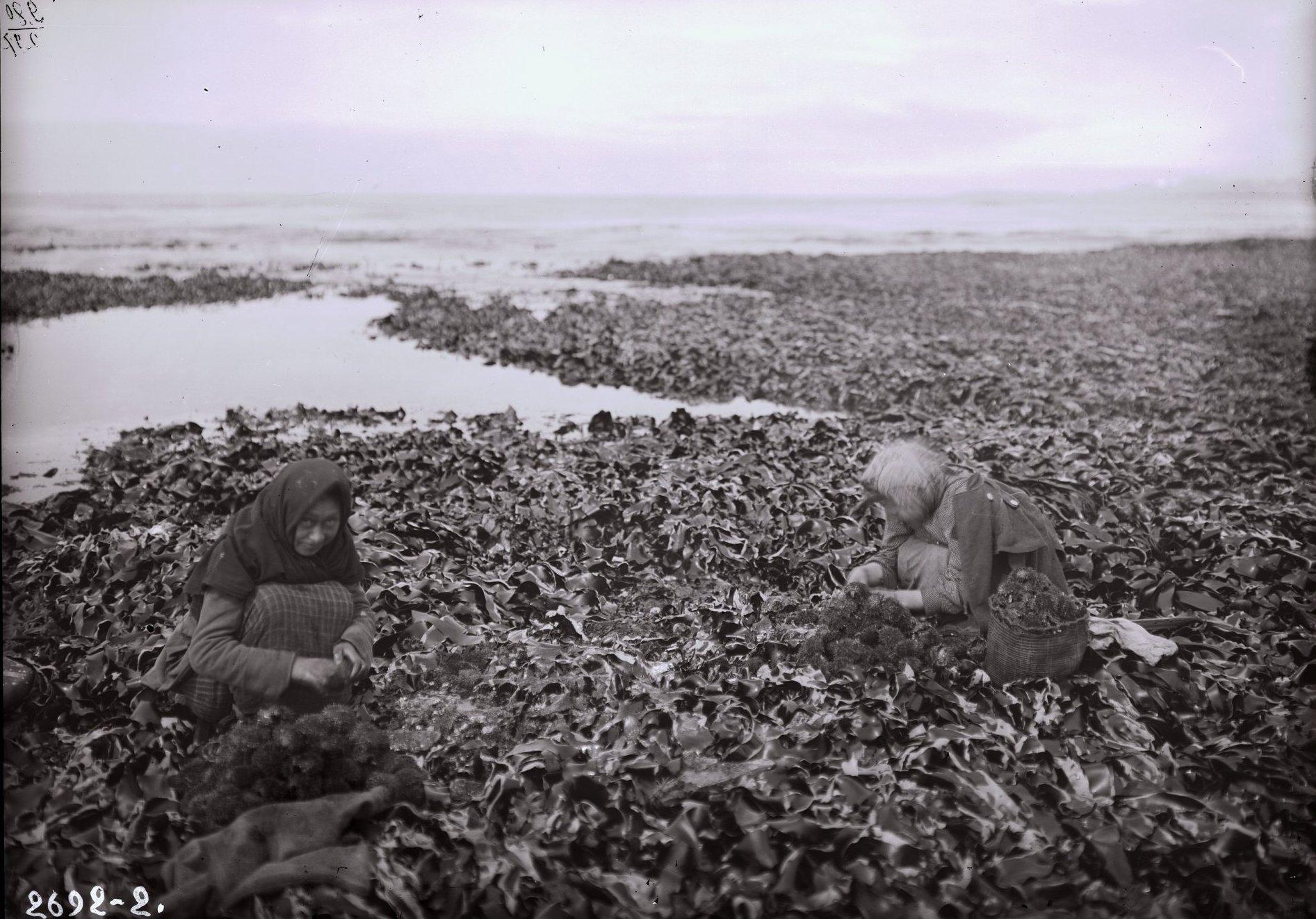 1909. Женщины за разбиванием панцирей морских ежей. Алеутские острова, Умнак остров, с. Никольское. 26 апреля
