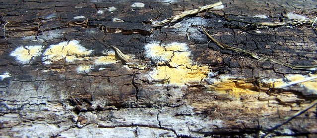 Resupinate Fungus on Pine