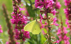 Russian Federation, Nature of Moscow, Cabbage Butterfly on the Flowers of Purple Loosestrife (Lythrum Salicaria, Lythraceae) in Ivan Michurin's Garden of Exhibition Complex VDNKh, Botanicheskaya street / Mira Avenue, Ostankinsky district.