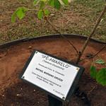 Ipe – Amarelo Tree (01815267)