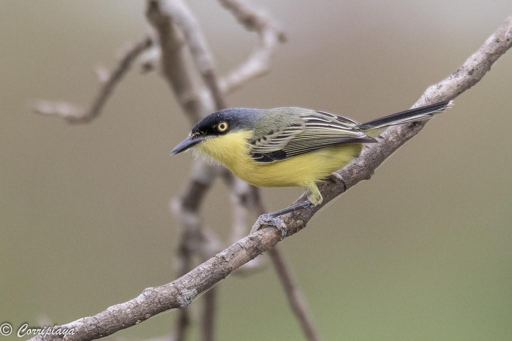 Titirijí común, Todirostrum cinereum, Common tody-flycatcher