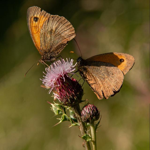 Meadow Brown Butterflies