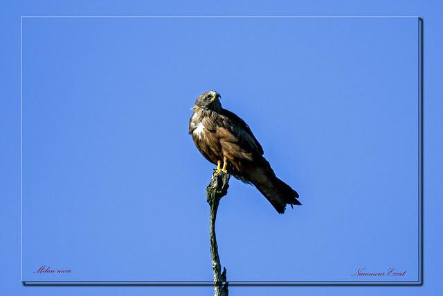 Milan noir ..Milvus migrans Black Kite