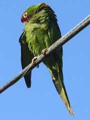 Feral Parakeet