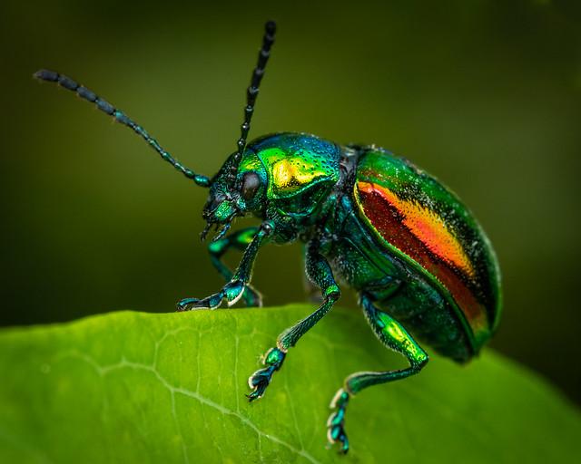 Dogbane Leaf Beetle 1