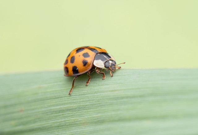 Harlequin lady beetle First test with AK diffuser.
