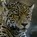"<p><a href=""https://www.flickr.com/people/154721682@N04/"">Joseph Deems</a> posted a photo:</p>  <p><a href=""https://www.flickr.com/photos/154721682@N04/51320664020/"" title=""Xochi - Jaguar""><img src=""https://live.staticflickr.com/65535/51320664020_67e3bced0a_m.jpg"" width=""240"" height=""236"" alt=""Xochi - Jaguar"" /></a></p>  <p>Fort Worth Zoo</p>"