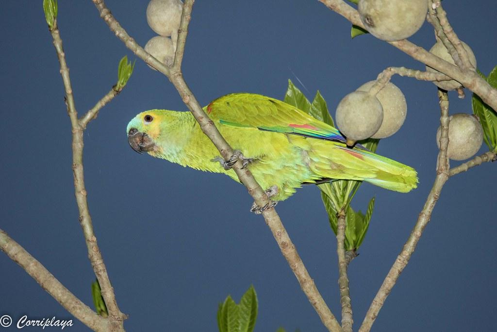 Amazona frentiazul, Amazona aestiva, Turquoise-fronted Parrot