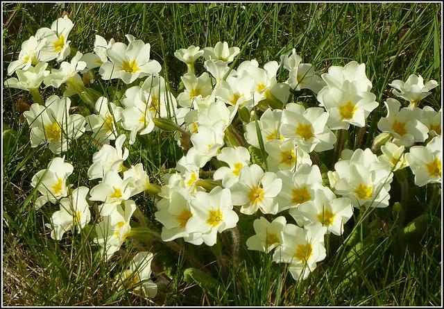Cluster of Primroses ..