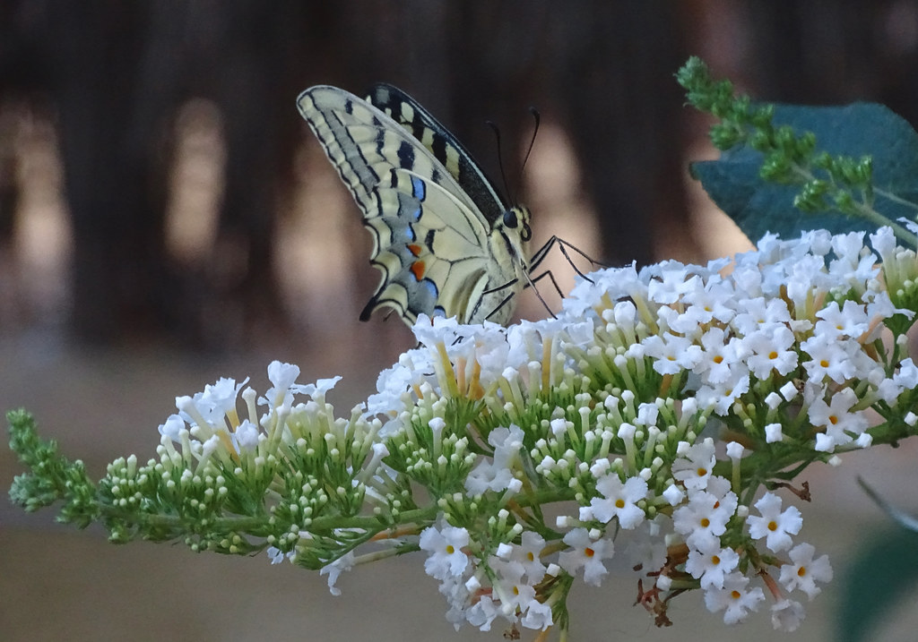 Papallones - Papilio machaon