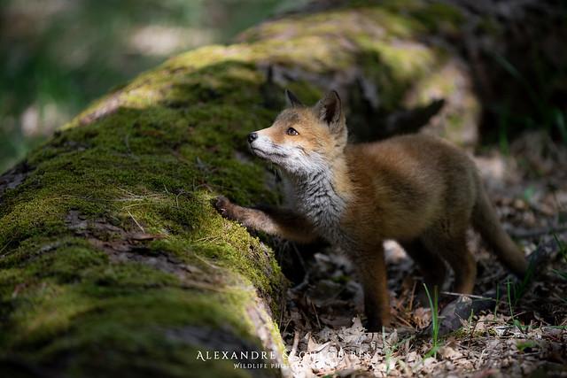 Renard roux - Red fox - Vulpes vulpes