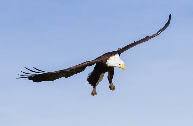 Bald eagle in a clear blue sky