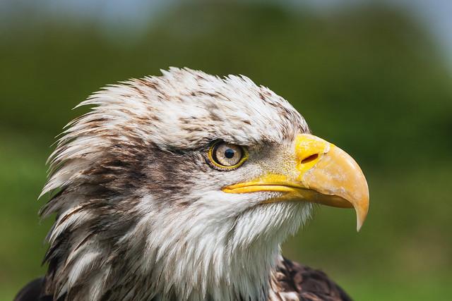Immature Bald eagle head and shoulders
