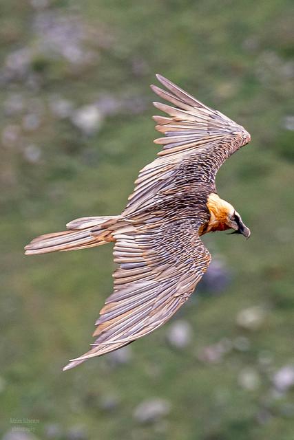 Bearded Vulture / Gypaète barbu