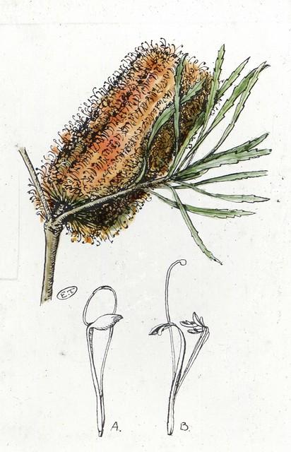 Banksia collina