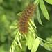 Caterpillar on tufted vetch