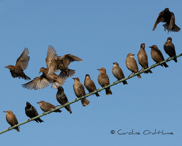 Starling, Sturnus vulgaris. 'Move over'