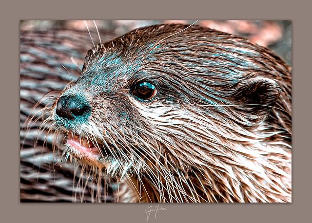 Otter Beauty