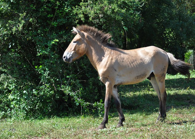 Caballus prjevalskii - Cheval de Przewalski ou Cheval de Prjevalski ou Takh - Przewalski's horse or Takhi or Mongolian wild horse or Dzungarian horse - 26/06/21