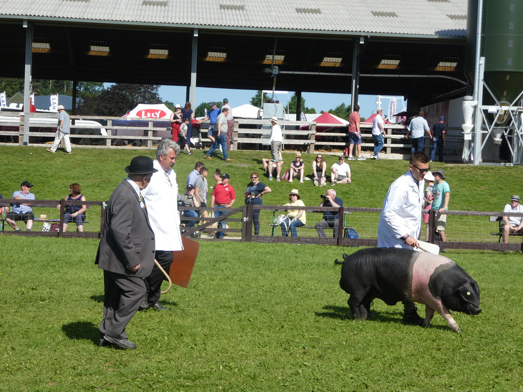 Pig judging at the Yorkshire Show