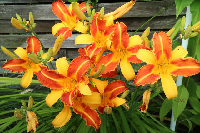 The fire of the lilies