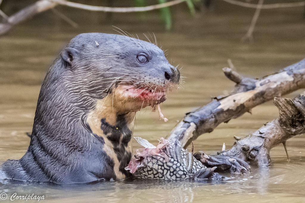 Nutria gigante, Pteronura brasiliensis, Giant otter