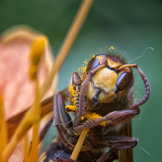 Macro - Vespa Velutina - Aziatische hoornaar