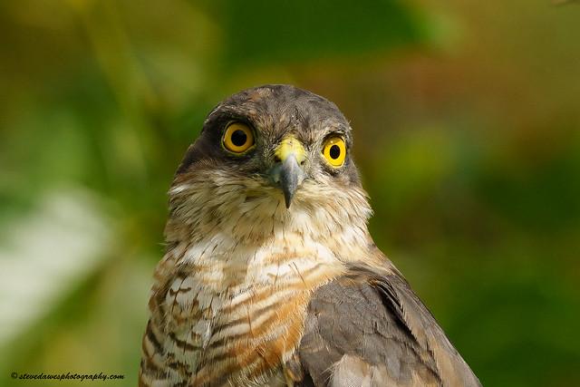 Sparrowhawk ( Accipiter nisus )