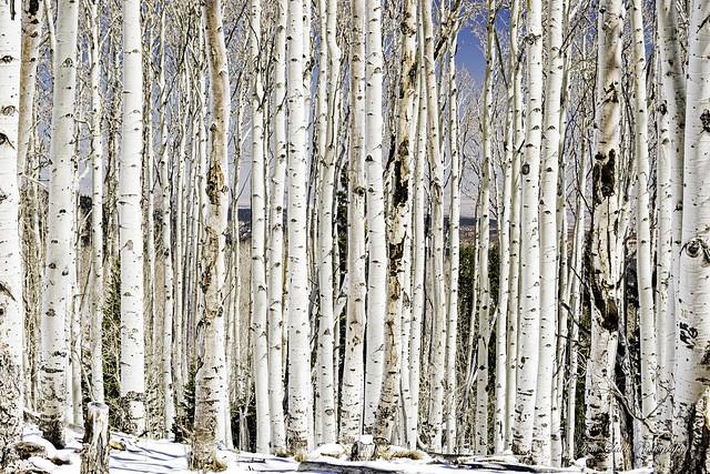 Aspens at 10.000 feet on Utah State Highway 12