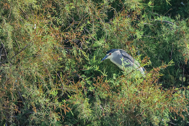 Martinet de nit - Martinete comun - Black-crowned night heron - Bihoreau gris - Nycticorax nycticorax