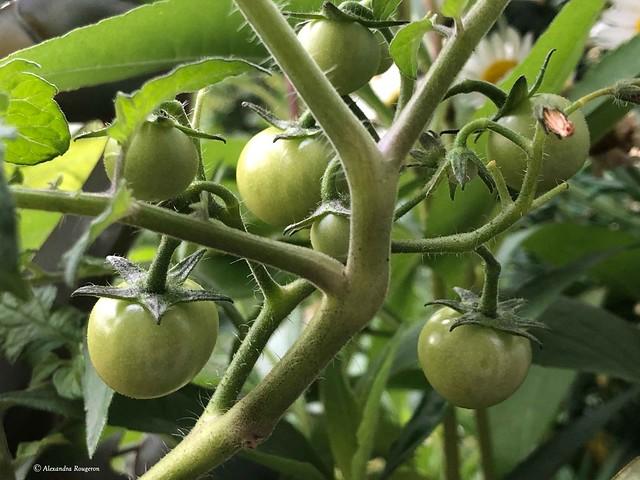 tomate-nature©