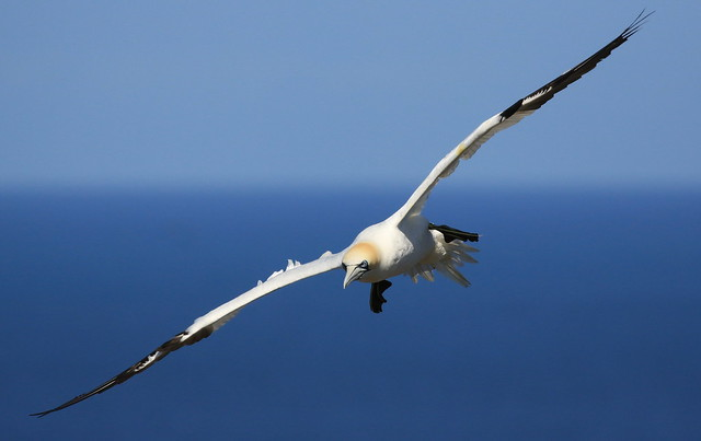 Gannets ( 1 of 5)