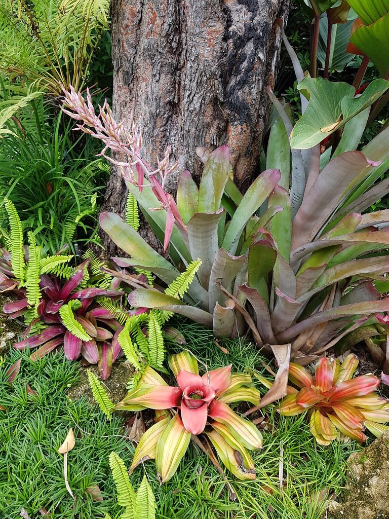 Bromeliads at PTT in Non Buri, Sahatsakhan 9