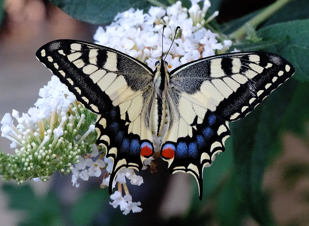 Papallona reina  - Papilio machaon