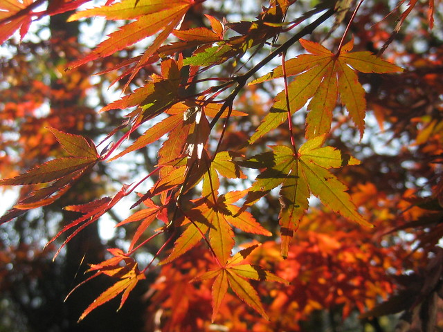 Red and Gold Autumnal Shades - Wandiligong