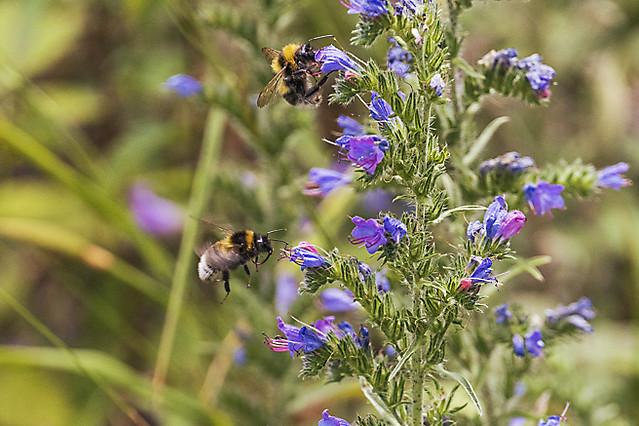 The wild bees
